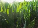 Corn_morning_light
