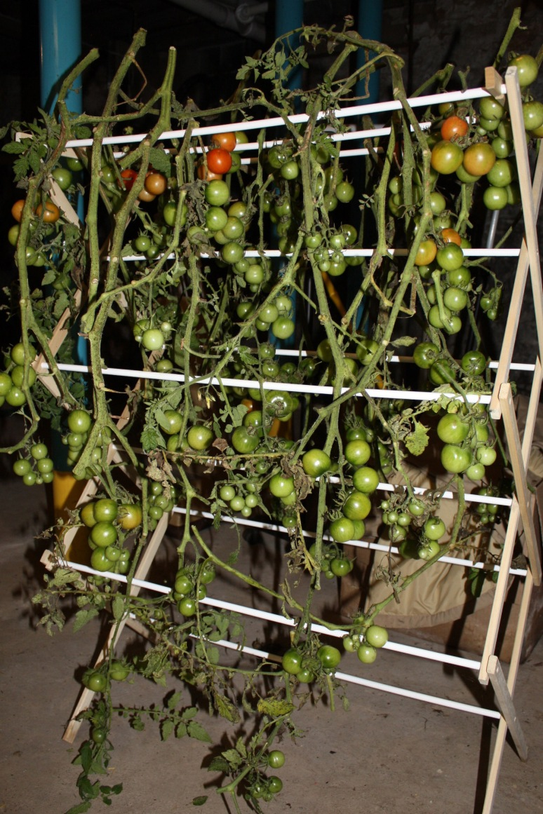 BasementTomatoes1