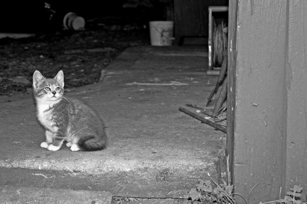 Mr. Hans Barn Kitten